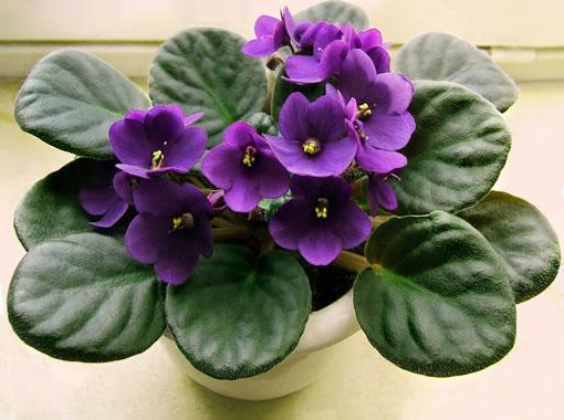 violeta-africana-3