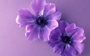 floresvioletas